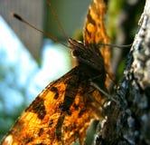 Motyli Sunbathing Obrazy Royalty Free
