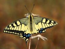motyli swallowtail Zdjęcia Stock