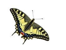 motyli swallowtail Zdjęcie Royalty Free