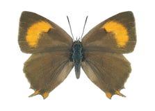 Motyli Thecla betulae (kobieta) Fotografia Royalty Free