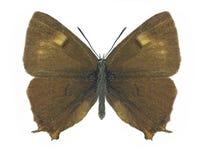 Motyli Thecla betulae (samiec) Zdjęcie Royalty Free