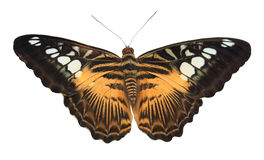 motyli tropikalny kolor żółty Fotografia Stock