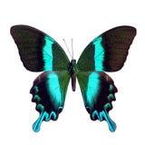 Motyli tropikalny Papilio blumei, odizolowywający na białym tle Obraz Royalty Free