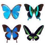 Motyli tropikalny set: Morpho menelaus; Papilio blumei; Papilio Ulysses; Trogonoptera brooklana Zdjęcie Royalty Free