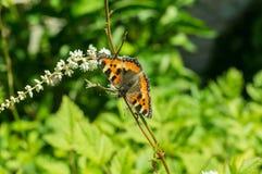 Motyli urticaria na kwiacie Zdjęcie Royalty Free
