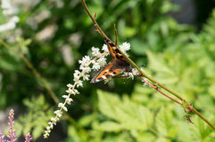 Motyli urticaria na kwiacie Obraz Royalty Free