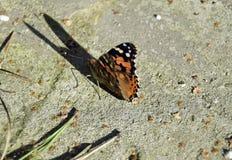 Motyli urticaria przedstawiciel fauny Europa Aglais urticae Piękny insekt Obrazy Royalty Free