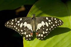 motyli wapno Obrazy Stock