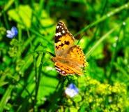 Motyli zakończenie Obraz Royalty Free