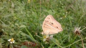 Motyli zbieracki miód Zdjęcie Stock