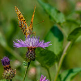 Motyli zbieracki nektar obraz stock