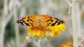 Motyli Zbieracki Pollen Od kwiatu zbiory wideo