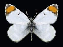 Motyli Zegris menestho Fotografia Royalty Free
