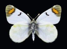 Motyli Zegris pyrothoe Obraz Royalty Free