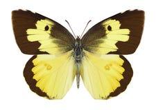 Motyli Zerene cesonia Obrazy Royalty Free