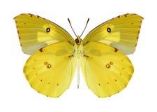 Motyli Zerene Eurydice Zdjęcia Stock