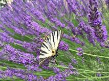 Motylia żaglówka, paskująca, siedzi na kwiacie purpurowa lawenda Zdjęcie Royalty Free