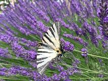 Motylia żaglówka, paskująca, siedzi na kwiacie purpurowa lawenda Obraz Royalty Free