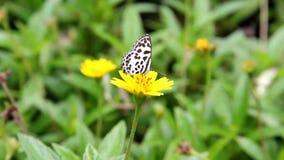 Motylia żerdź na żółtym kwiacie w ogródzie zdjęcie wideo