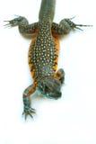 Motylia Agama jaszczurka Zdjęcie Royalty Free