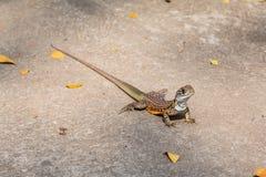 Motylia Agama jaszczurka Zdjęcia Royalty Free