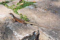 Motylia Agama jaszczurka Fotografia Stock