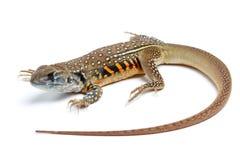 Motylia Agama jaszczurka odizolowywająca na bielu Zdjęcie Stock