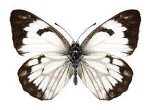 Motylia Anaphaeis aurota kobieta Fotografia Royalty Free