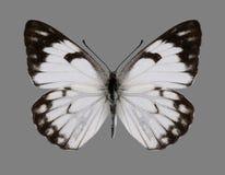 Motylia Anaphaeis aurota kobieta Fotografia Stock