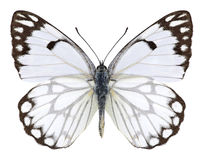 Motylia Anaphaeis aurota samiec Obrazy Royalty Free