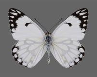 Motylia Anaphaeis aurota samiec Zdjęcie Stock