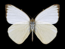 Motylia Ascia monuste eubotea samiec Zdjęcia Stock