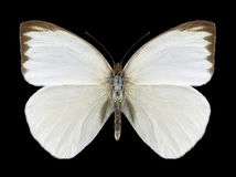 Motylia Ascia monuste phileta samiec Obraz Royalty Free
