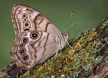 motylia bela Fotografia Stock