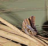 motylia caligo eurolochus sowa Obraz Stock