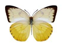Motylia Catopsilia scylla kobieta Obrazy Royalty Free