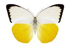 Motylia Catopsilia scylla samiec Fotografia Stock