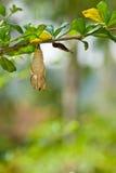 motylia chryzalida obraz stock