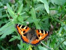 motylia czerwień zdjęcia stock