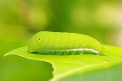 Motylia dżdżownica Zdjęcie Royalty Free