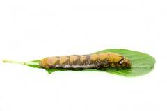 Motylia dżdżownica Fotografia Stock