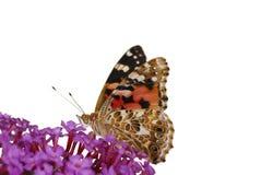 motylia dama malował Fotografia Stock
