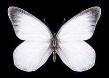 Motylia Delias zebuda samiec Zdjęcia Royalty Free