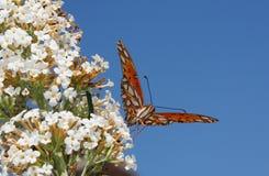 motylia fritillary zatoki pasja Fotografia Royalty Free