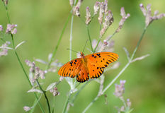 motylia fritillary zatoki pasja Obraz Royalty Free