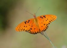 motylia fritillary zatoki pasja Zdjęcie Royalty Free