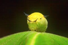 Motylia gąsienica, Aarey Dojna kolonia, INDIA Zdjęcia Stock