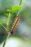 Motylia gąsienica na Atlantyckim tropikalnego lasu deszczowego czerepie Fotografia Stock