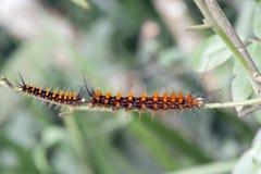 Motylia gąsienica na Atlantyckim tropikalnego lasu deszczowego czerepie Obrazy Royalty Free