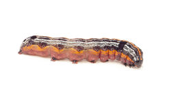 Motylia gąsienicowa larwa Zdjęcie Stock